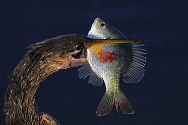 American Darter (Anhinga anhinga) with fish, Everglades National Park, Florida  -  Scott Leslie