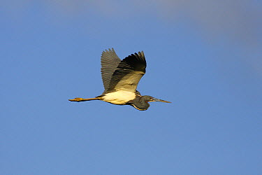 Tricolored Heron (Egretta tricolor) flying, Everglades National Park, Florida  -  Scott Leslie