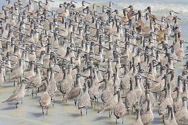 Willet (Tringa semipalmata) flock with a few Marbled Godwits (Limosa fedoa) on beach, Flamingo Bay, Everglades National Park, Florida  -  Scott Leslie