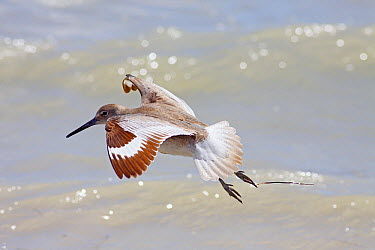 Willet (Tringa semipalmata) in breeding plumage flying, Everglades National Park, Florida  -  Scott Leslie