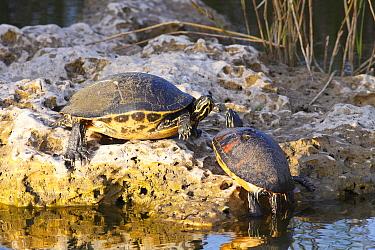 Florida Red-bellied Turtle (Pseudemys nelsoni) pair sunbathing on rock, Florida  -  Scott Leslie