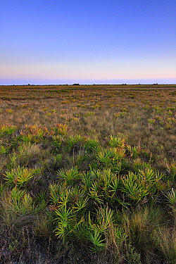 Saw Palmetto (Serenoa repens) thickets in dry prairie ecosystem, Kissimmee Prairie Preserve State Park, Florida  -  Scott Leslie
