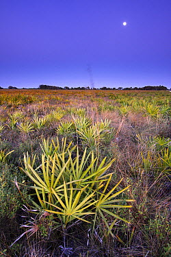 Saw Palmetto (Serenoa repens) thickets in dry prairie ecosystem with a rising full moon, Kissimmee Prairie Preserve State Park, Florida  -  Scott Leslie
