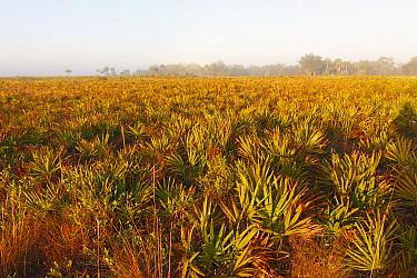 Saw Palmetto (Serenoa repens) field at dawn, Kissimmee Prairie Preserve State Park, Florida  -  Scott Leslie