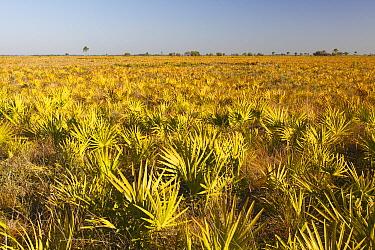 Saw Palmetto (Serenoa repens) field, Kissimmee Prairie Preserve State Park, Florida  -  Scott Leslie