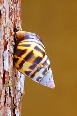 Florida Tree Snail (Liguus fasciatus) on tree trunk, Everglades National Park, Florida  -  Scott Leslie