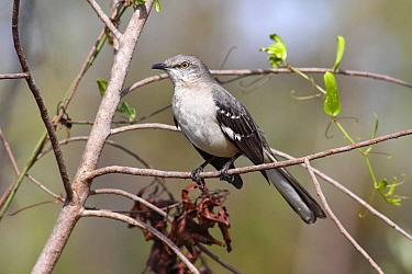 Northern Mockingbird (Mimus polyglottos), Everglades National Park, Florida  -  Scott Leslie