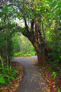 Gumbo Limbo (Bursera simaruba) trees surround Gumbo Limbo Trail, Everglades National Park, Florida  -  Scott Leslie