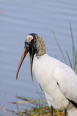 Wood Stork (Mycteria americana) calling, Everglades National Park, Florida  -  Scott Leslie