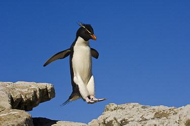 Rockhopper Penguin (Eudyptes chrysocome) jumping, Pebble Island, Falkland Islands  -  Pete Oxford