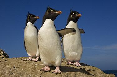 Rockhopper Penguin (Eudyptes chrysocome) trio, Pebble Island, Falkland Islands  -  Pete Oxford