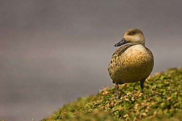 Crested Duck (Lophonetta specularioides), Pebble Island, Falkland Islands  -  Pete Oxford