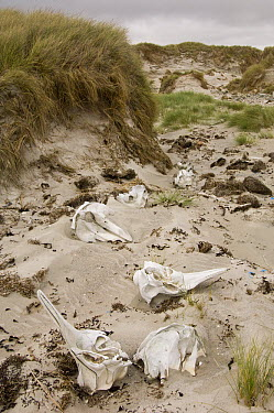 Long-finned Pilot Whale (Globicephala melas) bones, Elephant Beach, northern East Falkland, Falkland Islands  -  Pete Oxford