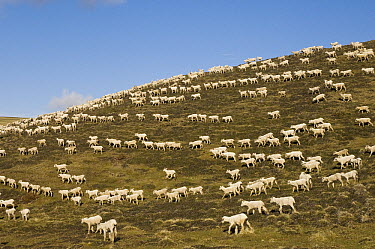 Domestic Sheep (Ovis aries) flock gets taken back to the far paddocks after shearing, Falkland Islands  -  Pete Oxford