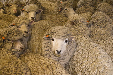Domestic Sheep (Ovis aries) group, a breed mixed for wool and mutton, Falkland Islands  -  Pete Oxford