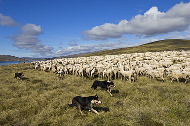 Domestic Sheep (Ovis aries) flock round up by sheep dogs, Falkland Islands  -  Pete Oxford