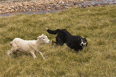 Domestic Sheep (Ovis aries) round up by sheep dog, Falkland Islands  -  Pete Oxford