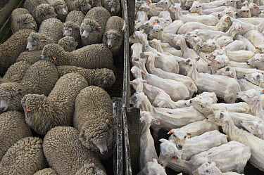 Domestic Sheep (Ovis aries) flocks before and after shearing, Port Howard, Falkland Islands  -  Pete Oxford