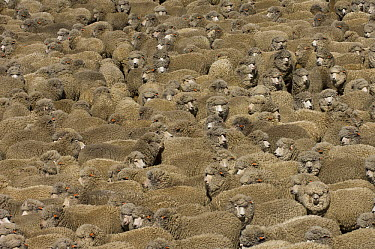 Domestic Sheep (Ovis aries) flock, a breed mixed for wool and mutton, Falkland Islands  -  Pete Oxford