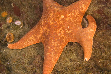 Bat Star (Asterina miniata) with regenerated arm, Monterey, California  -  Norbert Wu