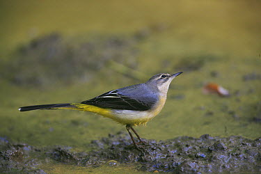 Grey Wagtail (Motacilla cinerea) female looking for food on shore of the Yonne, France  -  Cyril Ruoso