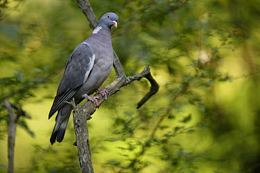 Common Wood-pigeon (Columba palumbus), France  -  Cyril Ruoso