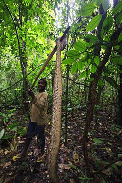 Gaboon Viper (Bitis gabonica) caught by Baka man for food, Cameroon  -  Cyril Ruoso