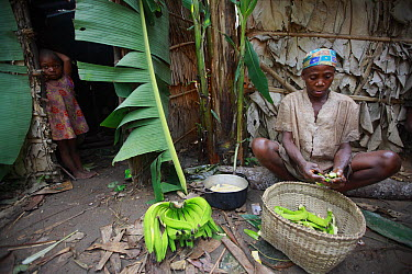Baka tribe member in farm camp with bananas, Cameroon  -  Cyril Ruoso