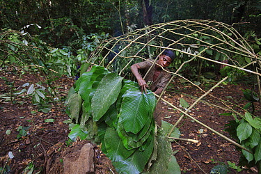 Ngongo (Megaphrynium macrostachyum) leaves used by Baka woman to make a Mongolu, a hut made from sticks and leaves, Cameroon  -  Cyril Ruoso