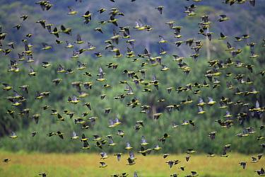 African Green-Pigeon (Treron calvus) flock flying, Cameroon  -  Cyril Ruoso
