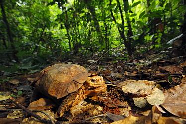 Eroded Hingeback Tortoise (Kinixys erosa) in tropical rainforest, Cameroon  -  Cyril Ruoso