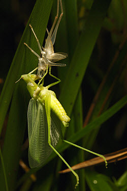 Grasshopper eating its moult in tropical rainforest, Lobeke National Park, Cameroon  -  Cyril Ruoso