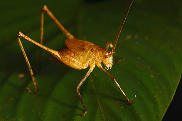 Grasshopper in tropical rainforest, Lobeke National Park, Cameroon  -  Cyril Ruoso