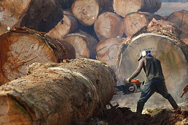 Logger cutting tree trunk, Cameroon  -  Cyril Ruoso