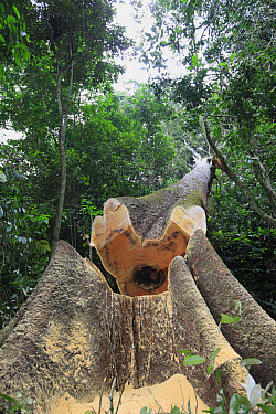 Logged tree falling in the tropical rainforest, Cameroon  -  Cyril Ruoso