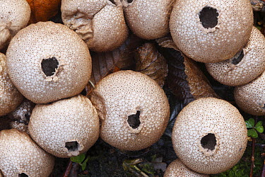 Earthball (Scleroderma sp) group about to spread spores, Japan  -  Cyril Ruoso