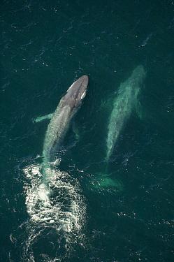 Blue Whale (Balaenoptera musculus) pair swimming, Santa Barbara Channel, California  -  Flip  Nicklin