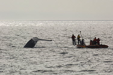 Blue Whale (Balaenoptera musculus) researcher Bruce Mate and his team trying to tag whale, Costa Rica  -  Flip  Nicklin