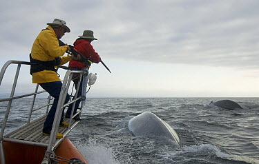 Blue Whale (Balaenoptera musculus) researchers Bruce Mate and Al Goudy trying to tag whale, Costa Rica  -  Flip  Nicklin