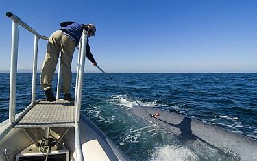 Blue Whale (Balaenoptera musculus) researcher, Erin O'Brien, satellite tagging adult, Costa Rica  -  Flip  Nicklin