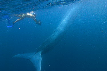 Blue Whale (Balaenoptera musculus) baby filmed by diver, Costa Rica  -  Flip  Nicklin