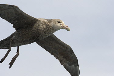 Antarctic Giant Petrel (Macronectes giganteus) flying, Falkland Islands  -  Flip  Nicklin