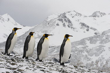 King Penguin (Aptenodytes patagonicus) group walking down snow-covered slope, South Georgia Island  -  Flip  Nicklin