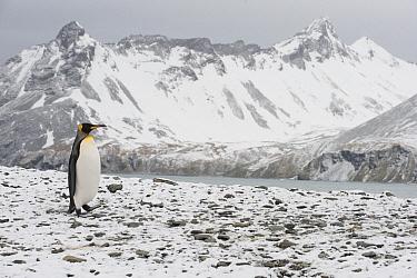 King Penguin (Aptenodytes patagonicus) walking down snow-covered slope, South Georgia Island  -  Flip  Nicklin