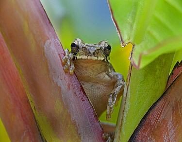 Mexican Treefrog (Smilisca baudinii), Costa Rica  -  Tim Fitzharris
