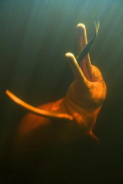 Amazon River Dolphin (Inia geoffrensis) catching fish, Rio Negro, Amazonia, Brazil  -  Kevin Schafer