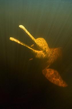 Amazon River Dolphin (Inia geoffrensis) swimming, Rio Negro, Amazonia, Brazil  -  Kevin Schafer