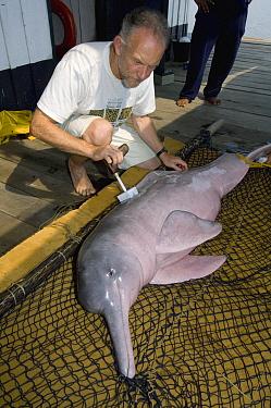 Amazon River Dolphin (Inia geoffrensis) researcher, Tony Martin, branding female, Mamiraua Reserve, Amazon, Brazil  -  Kevin Schafer