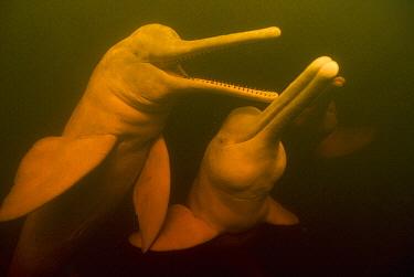 Amazon River Dolphin (Inia geoffrensis) trio swimming, Rio Negro, Amazonia, Brazil  -  Kevin Schafer