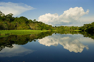 Flooded lowland forest, habitat for the amazon river dolphin, tributary of the Rio Negro, Amazonia, Brazil  -  Kevin Schafer